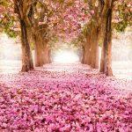 ЯПОНИЯ и магията на цъфналите вишни- април 2019